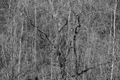 Korkenzieherbaum